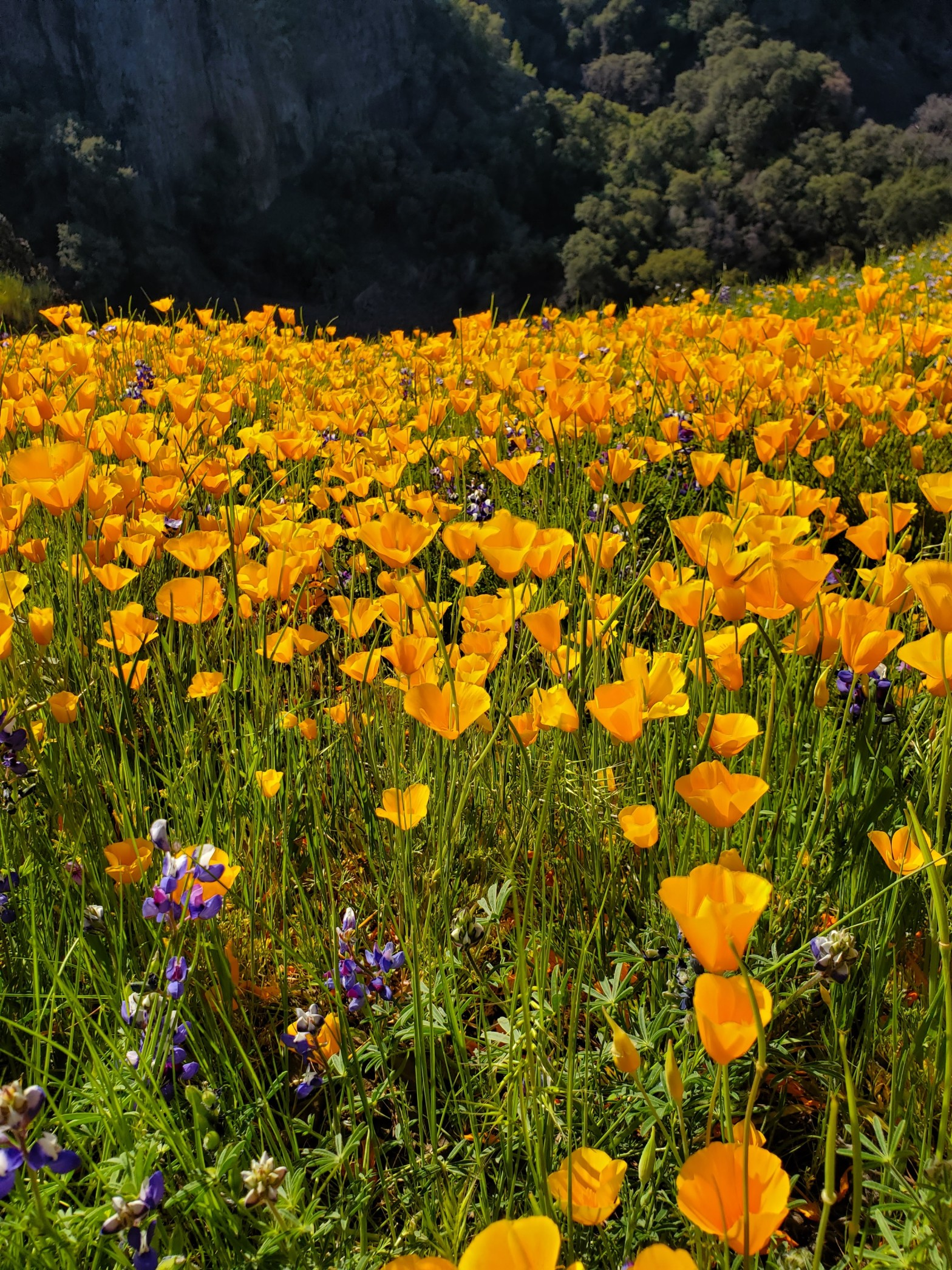 Photo of vibrant orange poppies